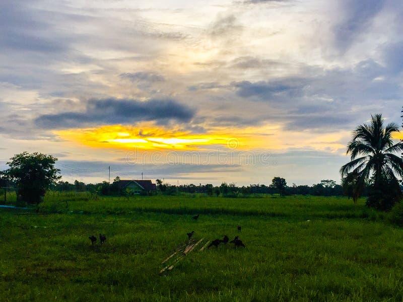 Risfält av landet i morgonen med blå och orange himmel in arkivfoton