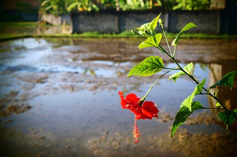 Risfält Bali, röd hibiskus royaltyfri bild