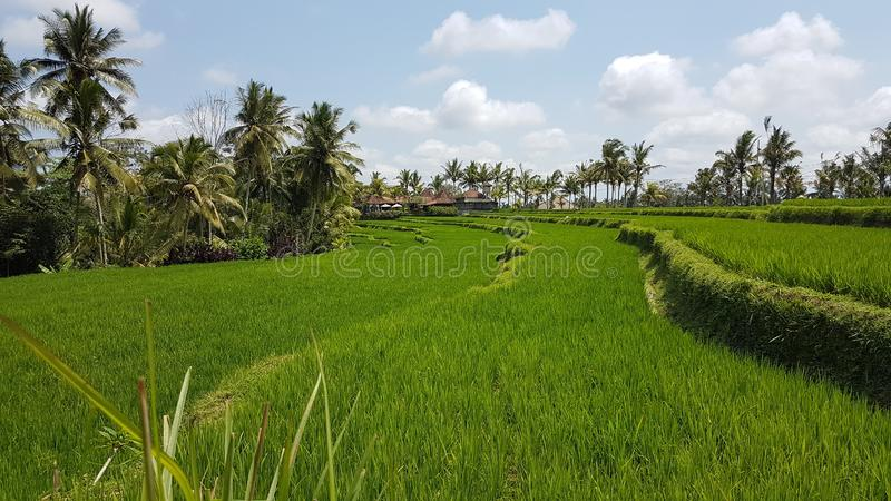 Risfält i Bali med traditionell odling arkivfoton