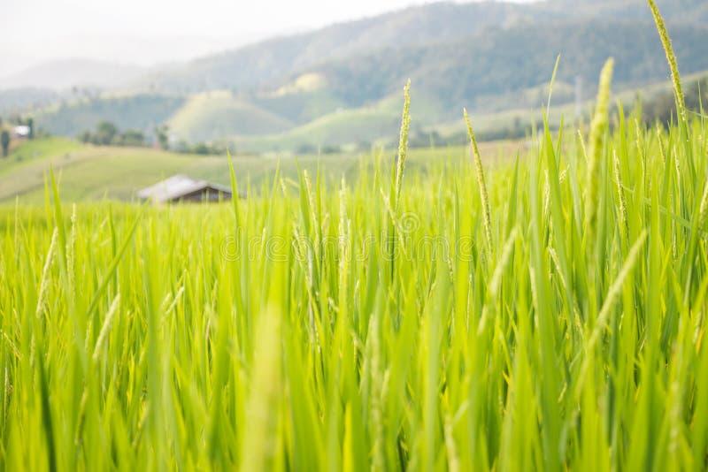 Risfält i bygden av Thailand - förlägga i barack i risfält royaltyfri foto