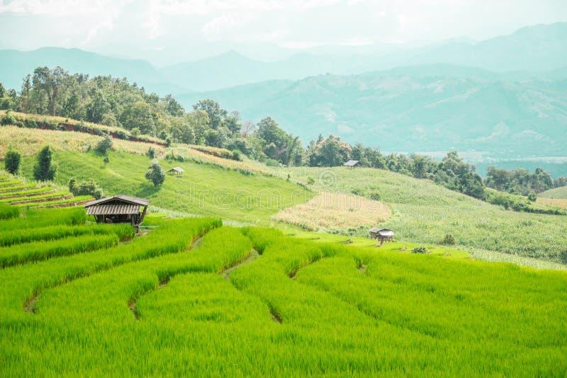 Risfält i bygden av Thailand - förlägga i barack i risfält royaltyfri bild