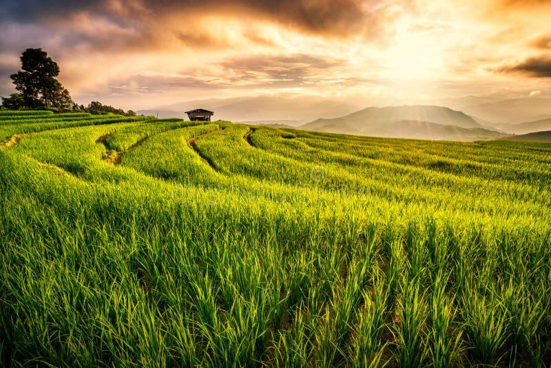 Risfält i Chiang Mai arkivfoton