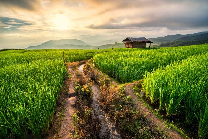 Risfält i Chiang Mai arkivbild