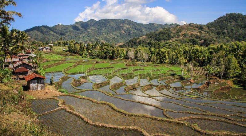 Risfält i den härliga och lyxiga bygden runt om bajawaen Nusa Tenggara, flores ö, Indonesien arkivbilder