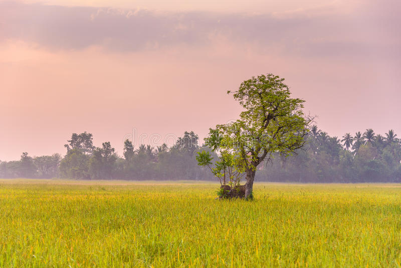 Risfält i morgonen royaltyfria foton