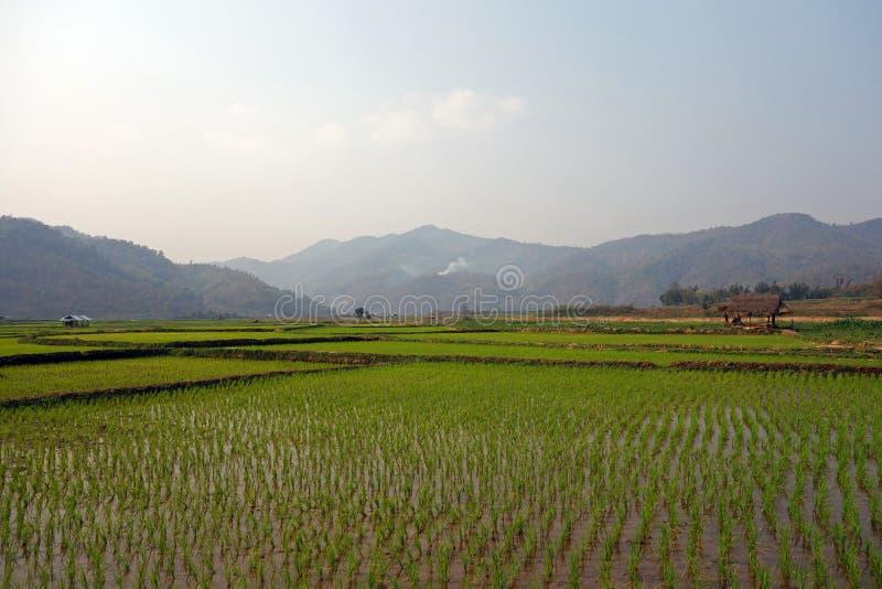 Risfält i Myanmar arkivfoto