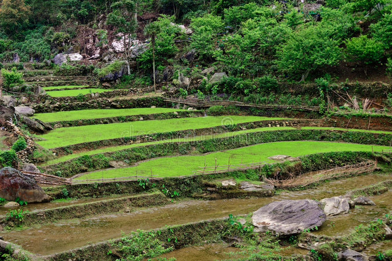 Risfält i Sa-PA arkivfoto