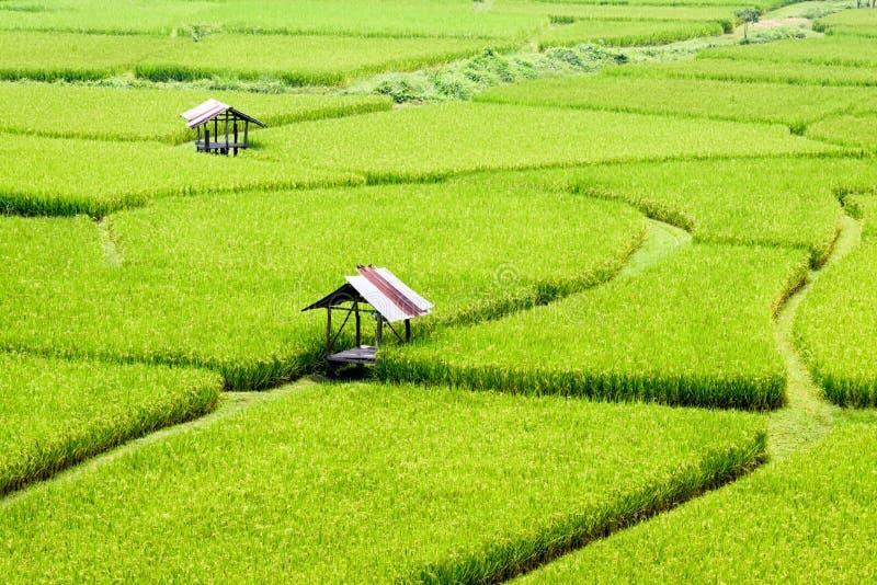 Risfält i sommar Thailand fotografering för bildbyråer