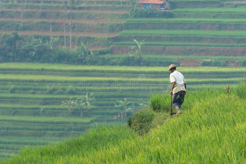 Risfält i Sumedang, västra Java, Indonesien royaltyfri bild