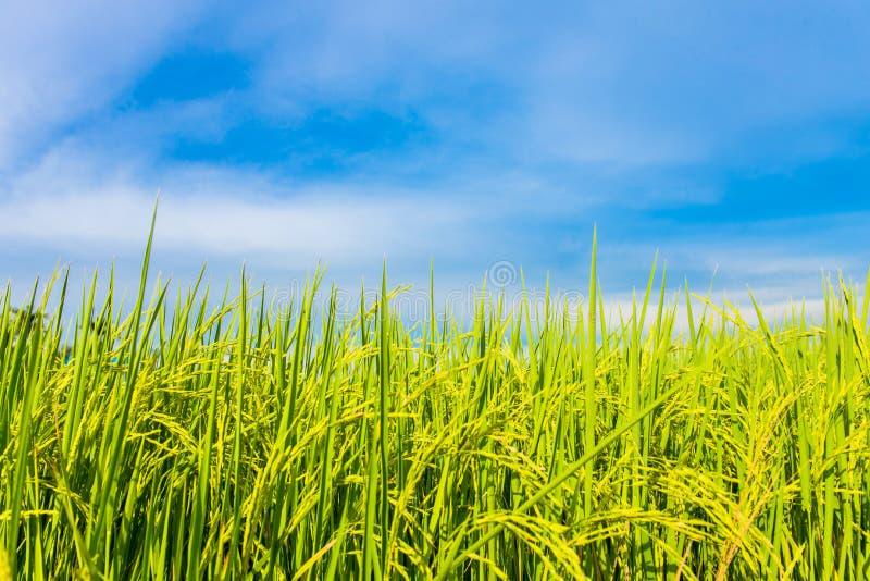 Risfält med den blåa himlen royaltyfria foton