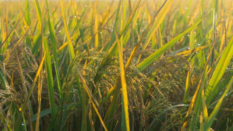 Risfält med det soliga fotoet för morgonsolsoluppgång som tas i pekalongan royaltyfri fotografi