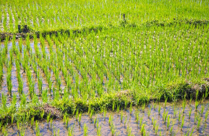 Risfält med gröna växter Plantera frö i skovel Vatten på risfält arkivfoton