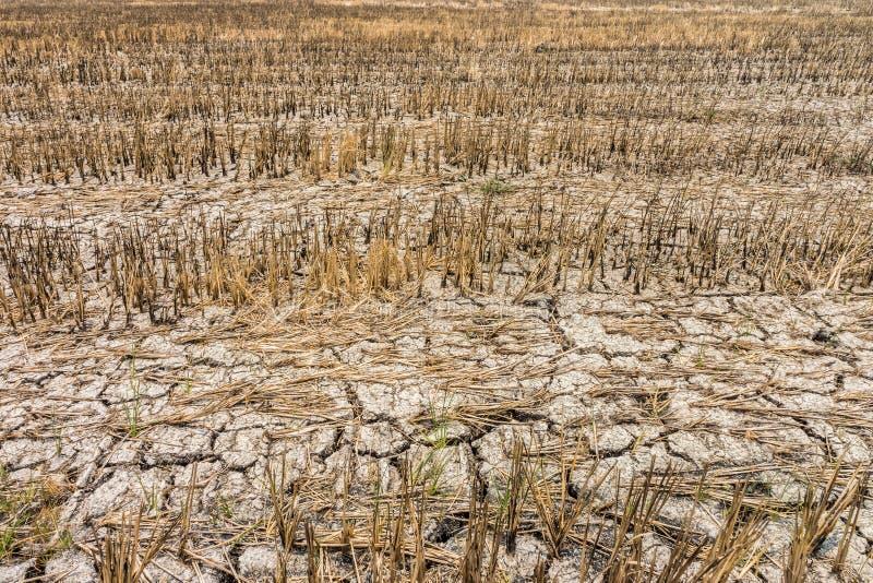 Risfält med sprickor i torr jord under den långa torkan arkivfoto