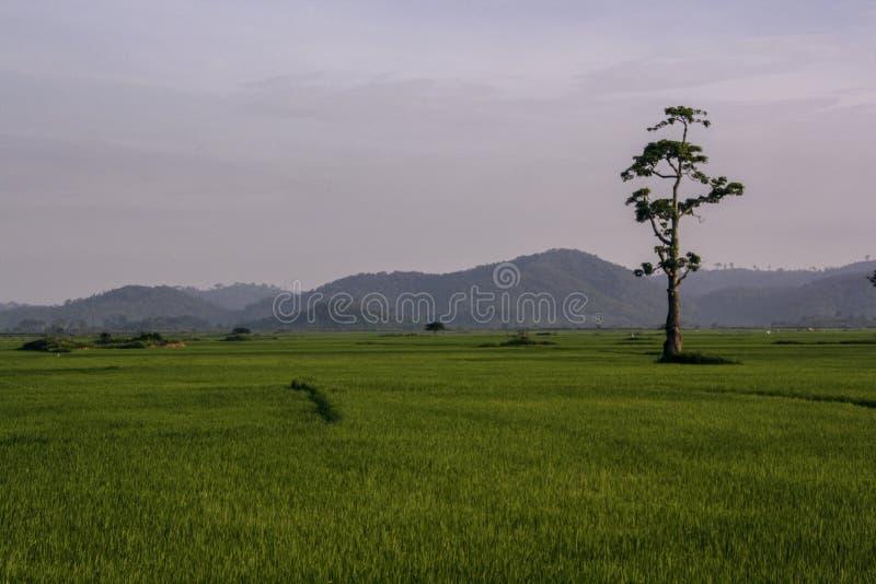 Risfält och ensamt stående träd arkivfoto