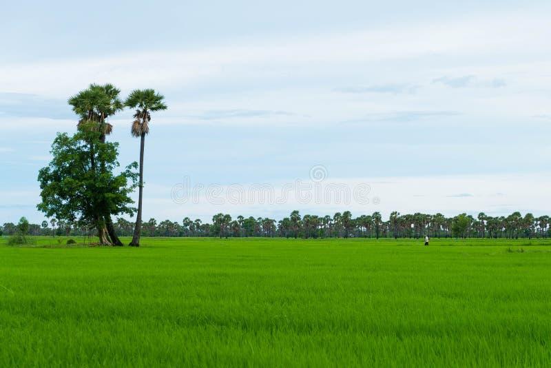 Risfält och palmyra i regnig säsong på den Phetchaburi provinncen, royaltyfri foto