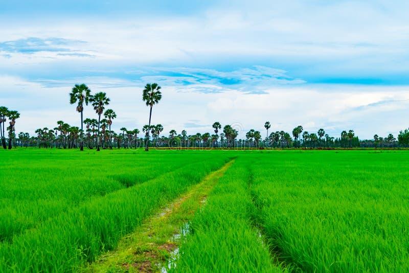 Risfält och palmyra i regnig säsong på Phetchaburi Thailand, royaltyfria bilder