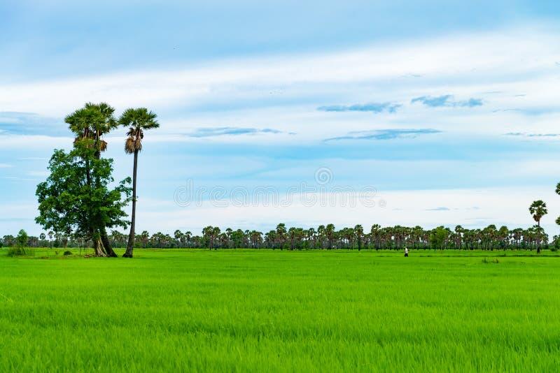 Risfält och palmyra i regnig säsong på Phetchaburi Thailand, arkivbilder