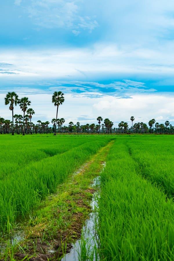 Risfält och palmyra i regnig säsong på Phetchaburi Thailand, arkivbild