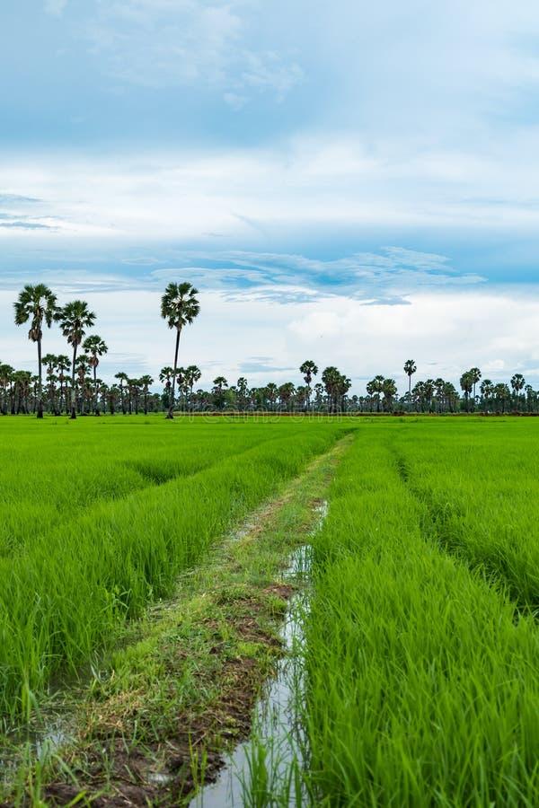 Risfält och palmyra i regnig säsong på Phetchaburi Thailand fotografering för bildbyråer