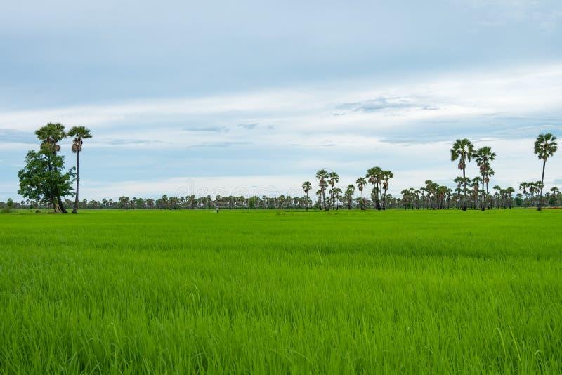 Risfält och palmyra i regnig säsong på Phetchaburi Thailand royaltyfri bild
