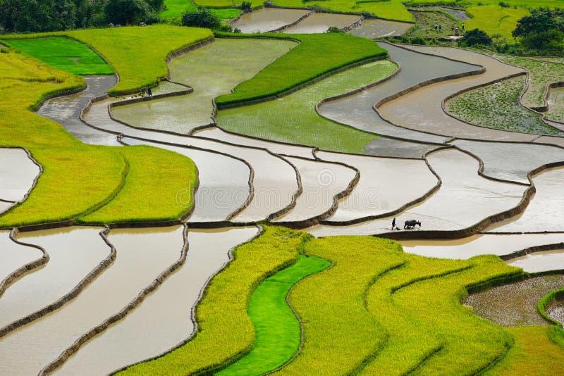 Risfält terrasserade på i rainny säsong på Tu Le by, Yen Bai, Vietnam arkivbild