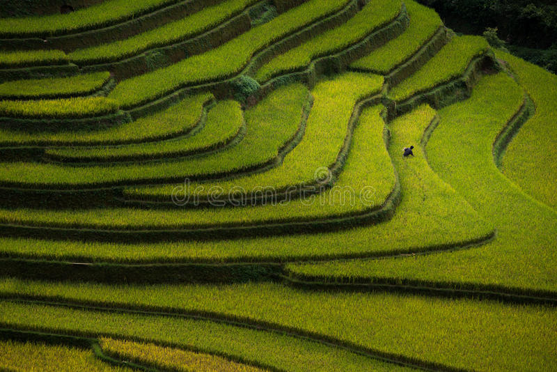 Risfält terrasserade på i solnedgång på Mu Cang Chai, Yen Bai, Vietnam arkivbilder