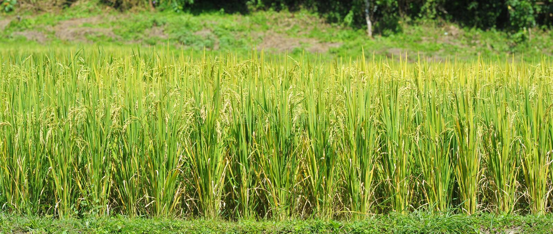 Risfältbakgrundslandskap. arkivbild