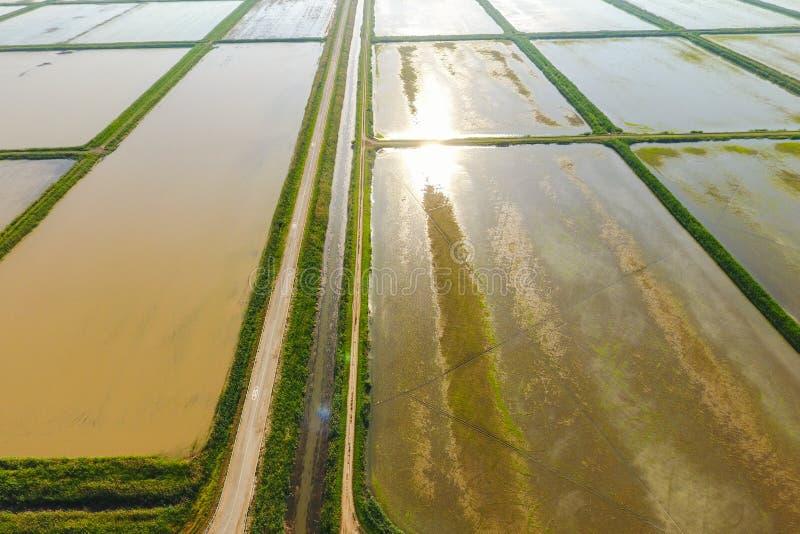 Risfälten översvämmas med vatten Översvämmade risfält Agronomiska metoder av att växa ris i fälten royaltyfria bilder