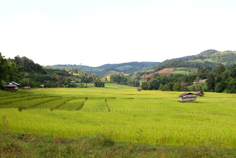 Risfälten på landsbygden arkivbild