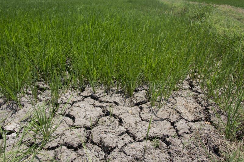 Risfältet med sprucket torkar jord fotografering för bildbyråer