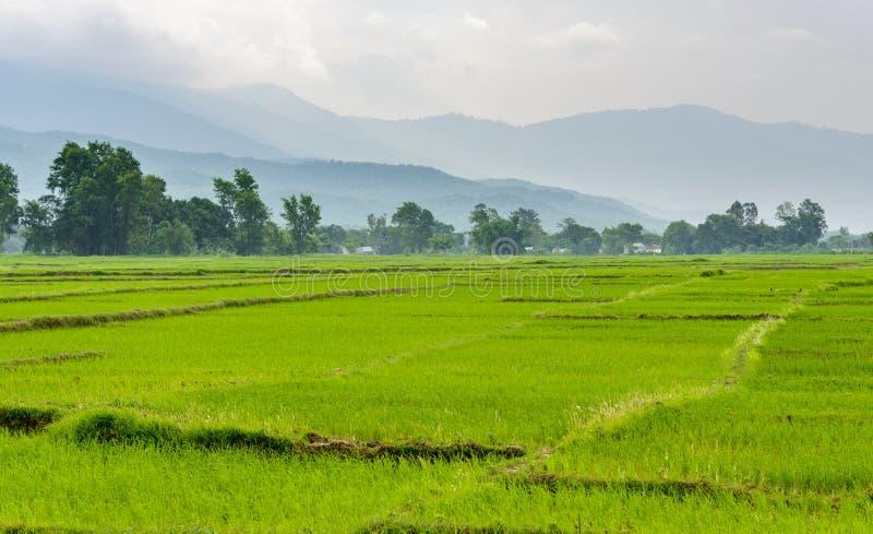 Risfältfält i Terai, Nepal arkivbilder