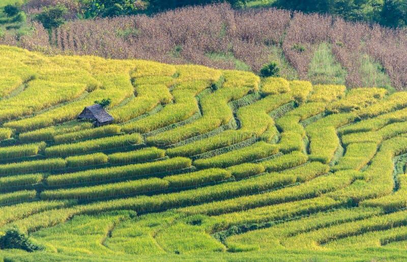 Risfältterrass, åkerbruk terrass på kullar royaltyfria foton