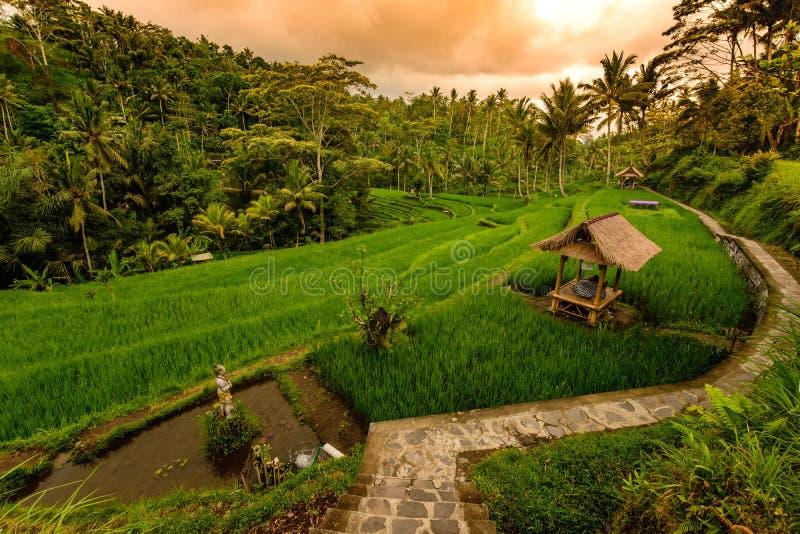 Risfältterrass, Bali, Indonesien royaltyfri fotografi