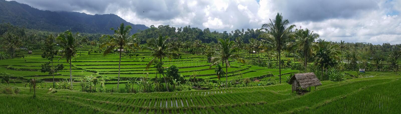 Risfältterrass i Bali - panoramautsikt royaltyfri foto