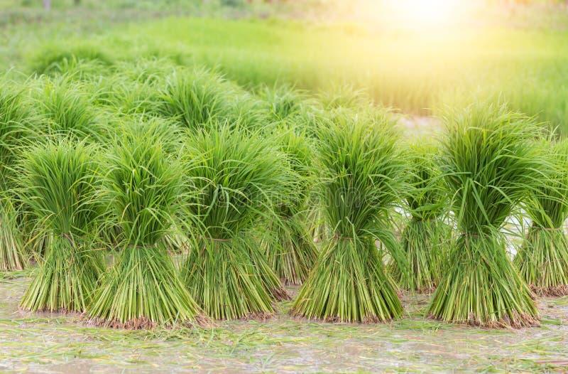 Risf?lt terrasser, koloni, lantg?rd En organiskt asiatiskt rislantg?rd och jordbruk arkivfoton