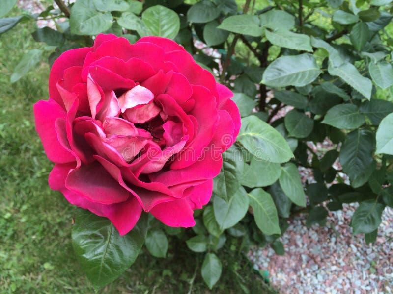 Rish rosig rosblomma royaltyfri fotografi