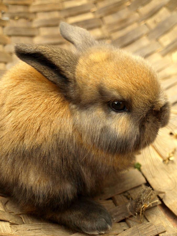 risig kanin arkivfoto