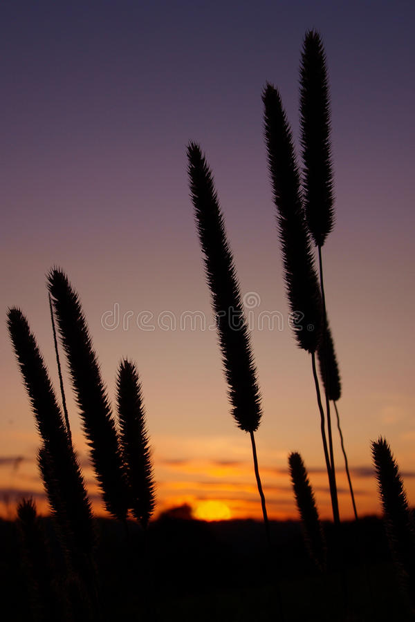 Rising Sun. Silhouette of grass flowers against the rising sun stock image