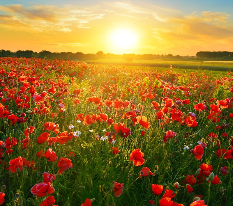 Rising sun above the field of red poppies in summer. royalty free stock photos