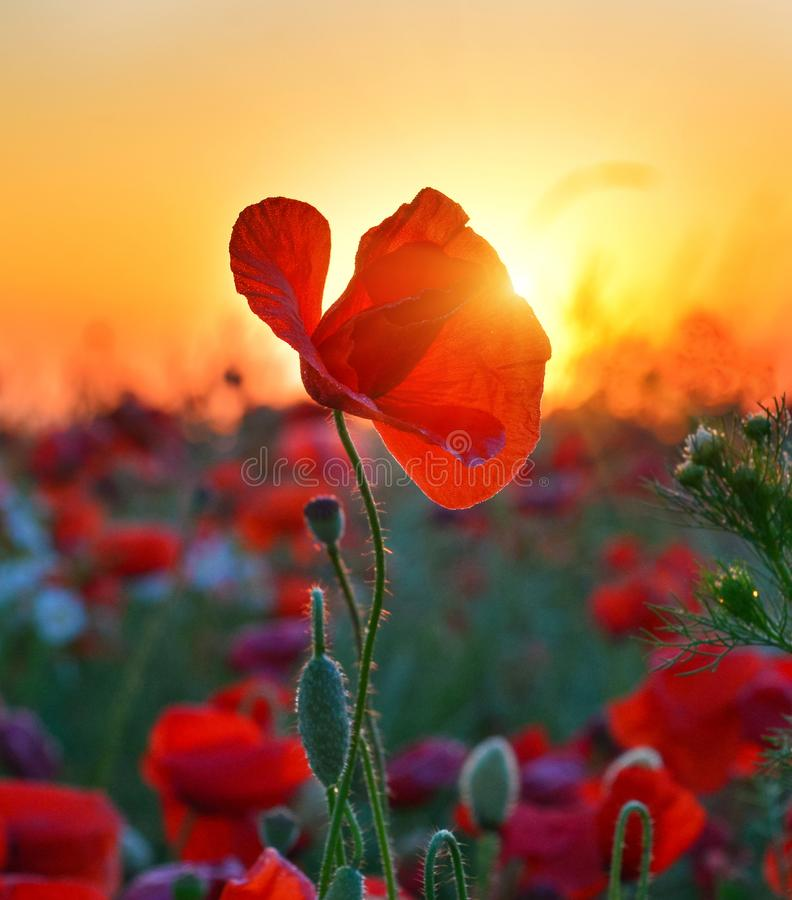 Rising sun above the field of red poppies in summer. stock photography