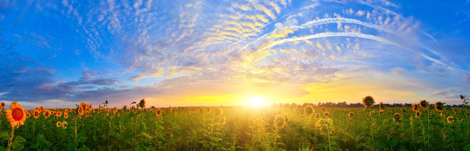 Rising sun above the field of sunflower in summer. royalty free stock photography