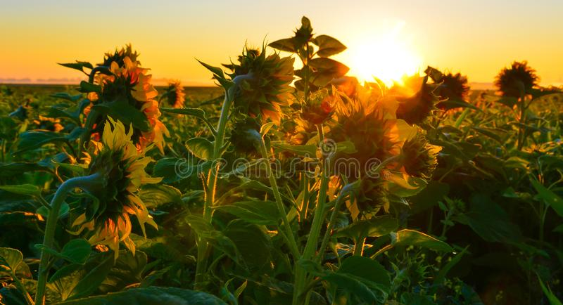 Rising sun above the field of sunflower in summer. Rural landscape at sunrise stock photos