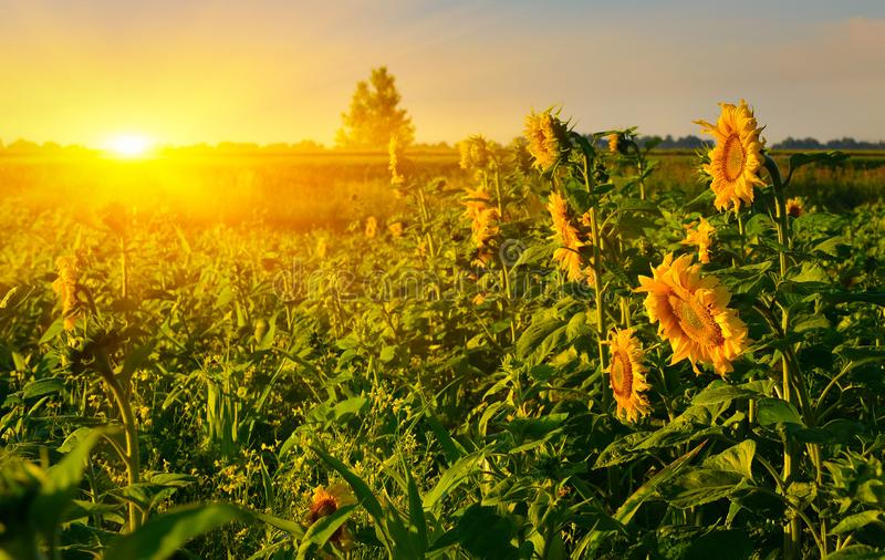 Rising sun above the field of sunflower in summer. Rural landscape at sunrise stock images