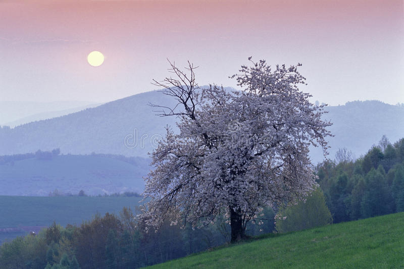 Rising sun behind cherry tree. In mountains royalty free stock image
