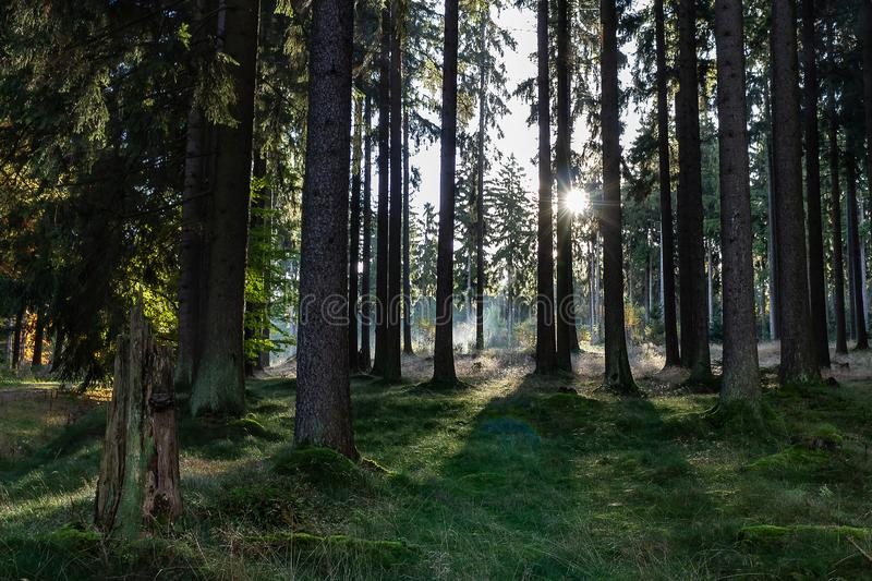 The rising sun shines through the trees of the forest. The rising sun shines through the pine trees of the forest royalty free stock photography