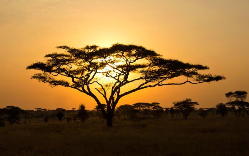 Rising Sun shinning through an Acacia Tree. In Africa. Beautiful scenery of sunrise / sunset in Serengeti National Park stock photography