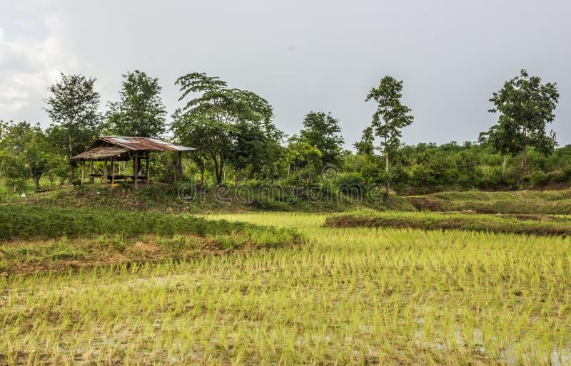 riso campo e cottage di legno a rurale della Tailandia fotografia stock libera da diritti