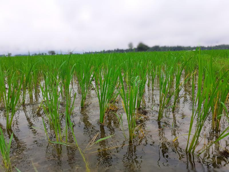 Riso che coltiva in India Piante di riso verdi nel campo Giardino del riso fotografia stock libera da diritti