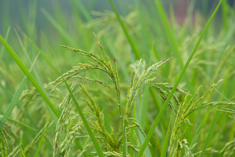 Riso del primo piano nel giacimento del riso fotografie stock libere da diritti