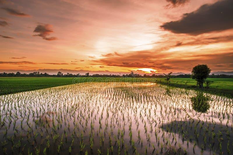 Riso dell'azienda agricola del paesaggio in Tailandia al tramonto fotografia stock